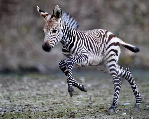 aaaaaw! baby zebra :)