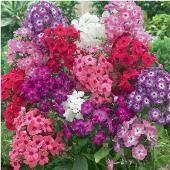 Phlox Flowers (Annual Dwarf Mixed) FL39-100