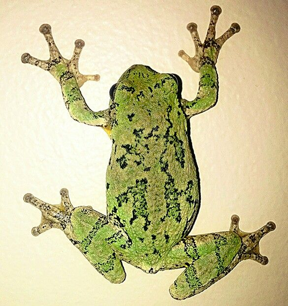 Michigan Trees, Tree Frogs, Gray
