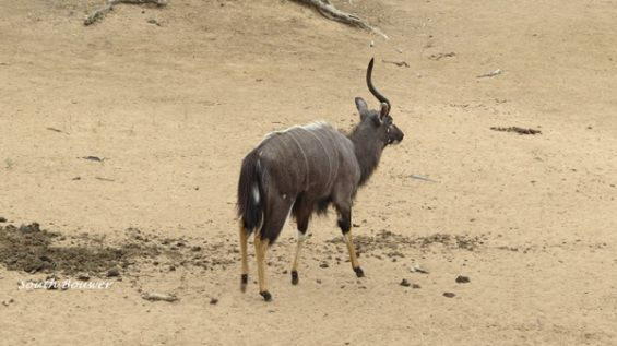 A male nyala with one horn, uMkhuze Game Reserve
