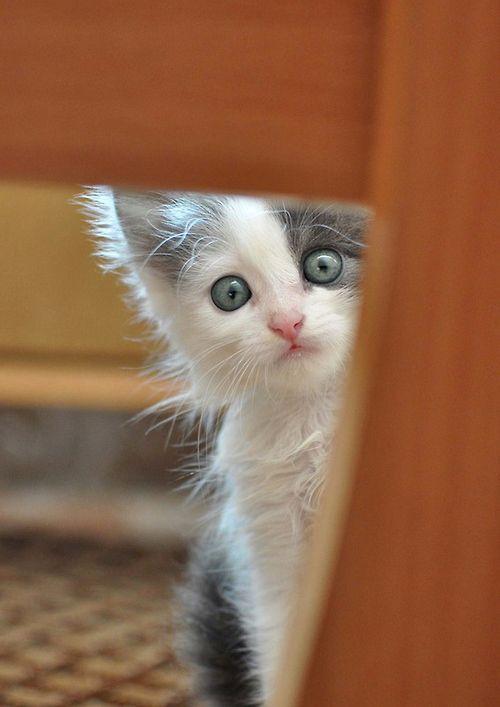Adorable peeking kitty cat.