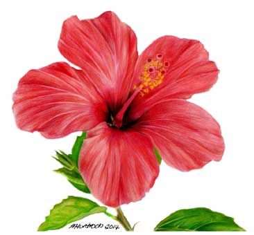 best  hibiscus flower drawing ideas on   hibiscus, Beautiful flower