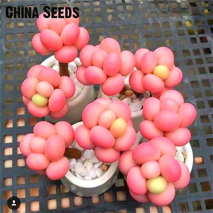 Sale 100 Pcs/pack Egg Succulents Seeds Echinopsis Tubiflora Cactus Seed Rare Flower Lithops Pots Planters Home Garden Plants .
