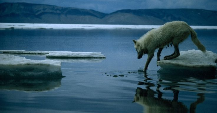 Lobo-do-ártico anda nos Territórios do Noroeste do Canadá. O lobo-do-ártico é uma subespécie do lobo que habita o Alasca, o norte do Canadá e a Europa