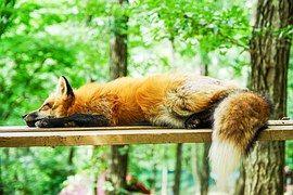 Állat, Fox, Alvás, Alszik, Cuki