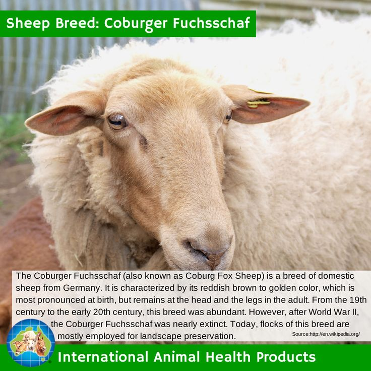 The Coburger Fuchsschaf is a breed of domestic sheep from Germany. It is characterized by its reddish brown to golden color, which is most pronounced at birth, but remains at the head and the legs in the adult. After World War II, the Coburger Fuchsschaf was nearly extinct. #coburger #fuchsschaf #coburgerfuchsschaf #sheep #ram #ewe #lamb #sheepbreed #breed #facts #green #iah #iahp #internationalanimalhealth #poultry #animal #facts #breeds #livamol #protexin