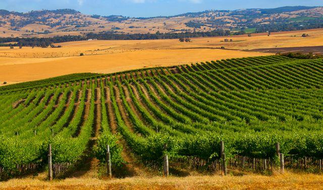 Pindarie Vineyard, Barossa Valley, South Australia. Image © Dragan Radocaj Photography.