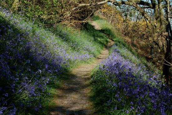 Bluebells in Beckland Woods Hartland Peninsula