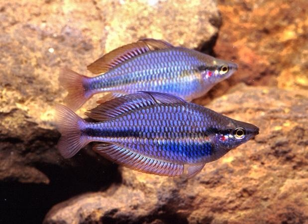 28 best images about aquarium resources on pinterest for Peaceful freshwater fish