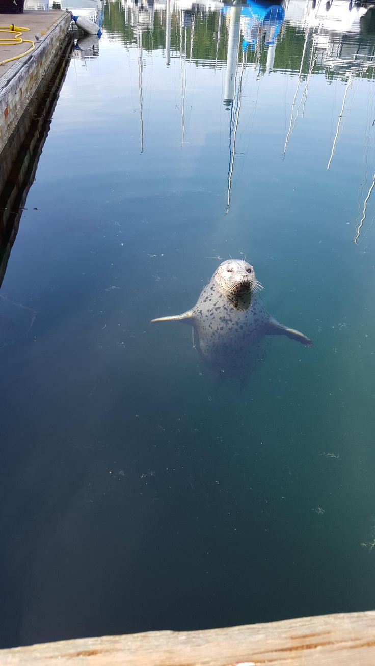 Popeye the one eyed seal from Friday Harbor, WA. - Imgur