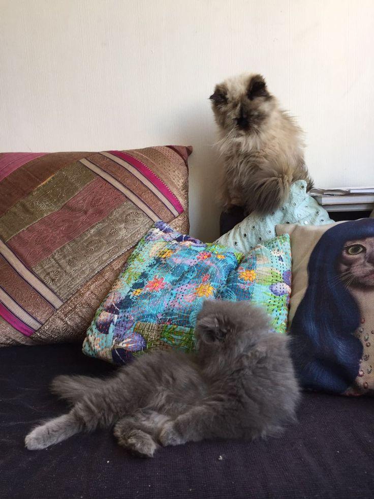 Persian cats #newton #boniboni #relaxing