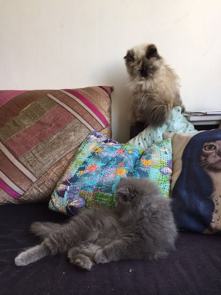 Persian cats #newton #boniboni #relaxing