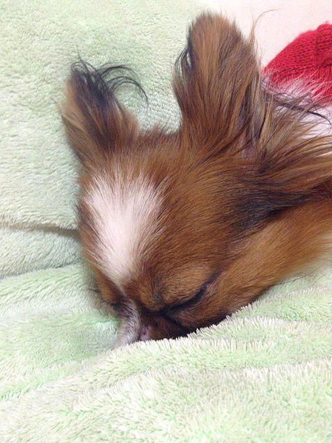 仔犬 子犬 パピヨン 犬の画像 プリ画像                                                                                                                                                     もっと見る