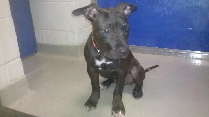 Godiva loving Chocolate Stratford Terrier mix she 6months old current on all shots and needs a loving forever home