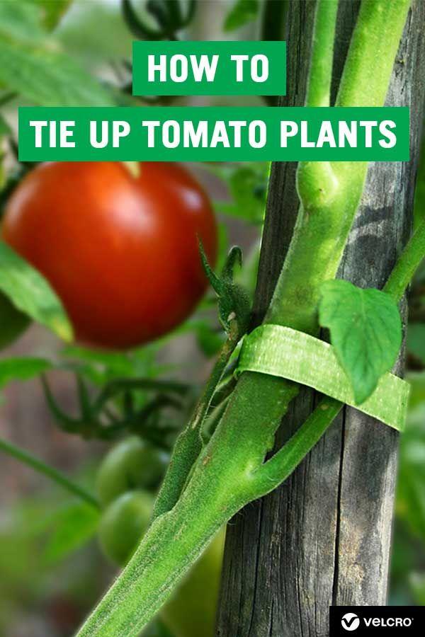 How To Tie Up Tomato Plants Tomato Plants Tomato Plants Support Tomato