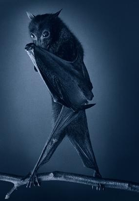 The fruit bat, also known as flying fox. Unlike most bat species, fruit bats don't use echolocation to hunt for their food. (Tim Flach)