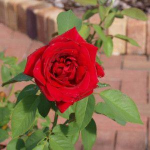 Как подготовить розы к зиме: 5 важных советов