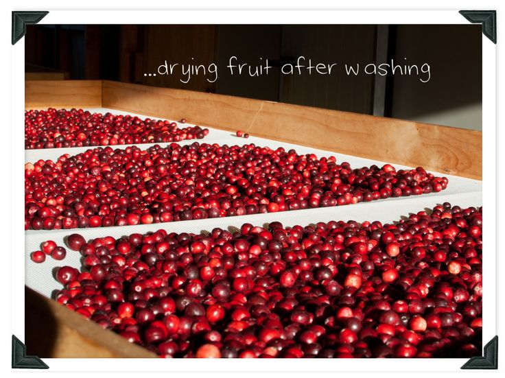 Learn how to grow true American cranberries with our visit to a cranberry farm at harvest time.