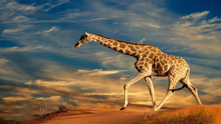 Giraffe HD Wallpapers 1920×1080 Giraffe Images Wallpapers (41 Wallpapers) | Adorable Wallpapers