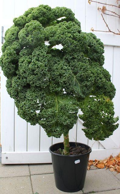grønkål-i-potte #spiselig pynt
