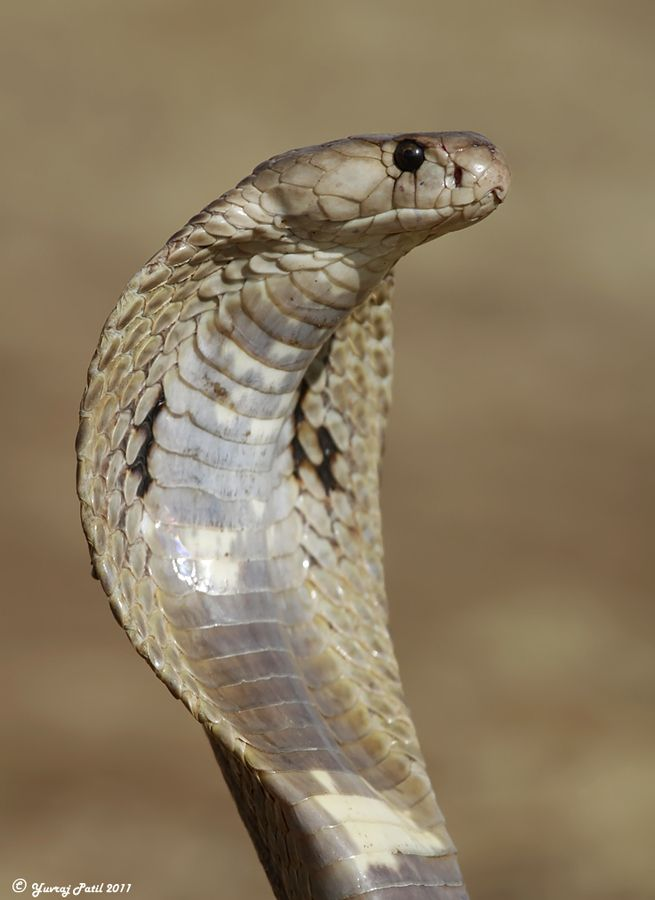 King Cobra #snakes #reptiles #topanimals