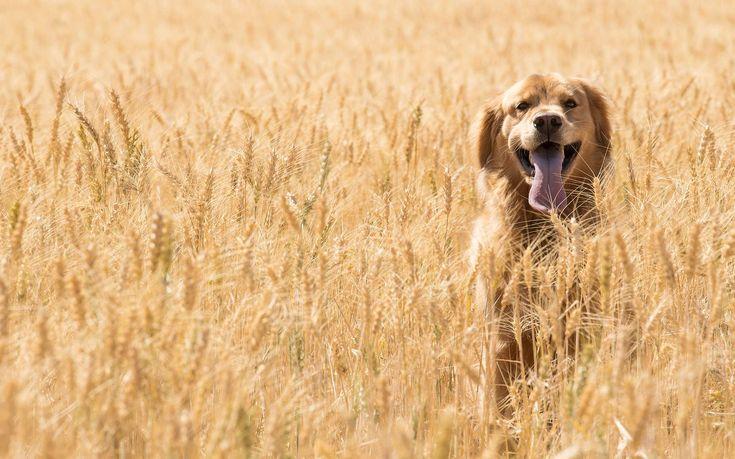 Comment l'agriculture a changé le chien