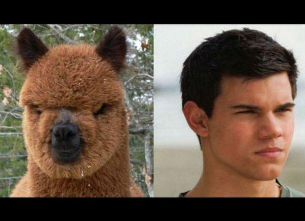 Taylor Lautner & Alpaca