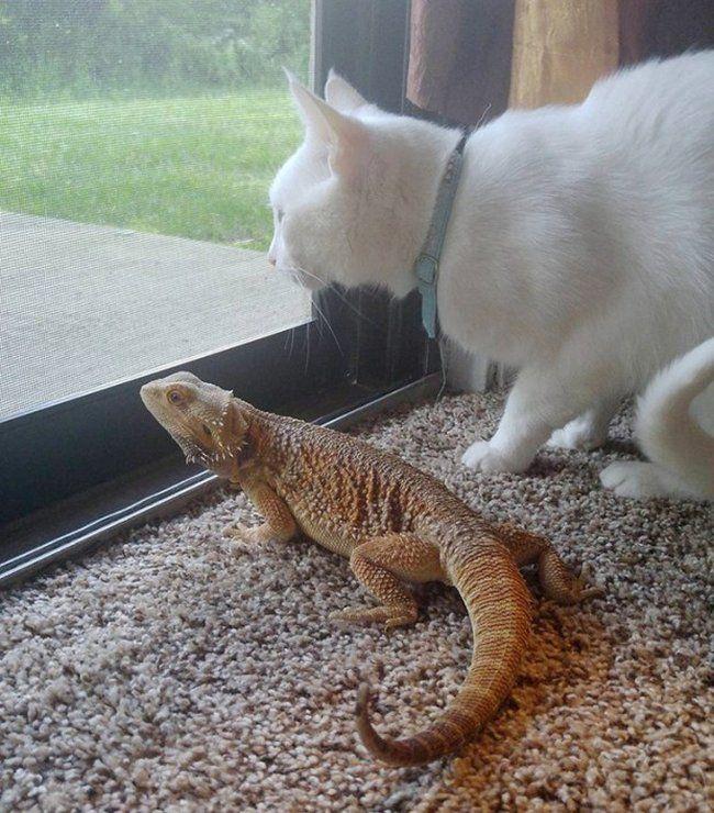 amizade-entre-gato-e-pogona-8