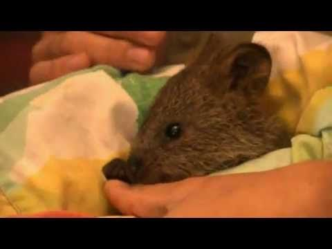 Quokka segment - All About Animals TV Show      Season 1: Olivia visits the Adelaide Zoo to learn all about a native Australian animal called the quokka.  (YouTube)