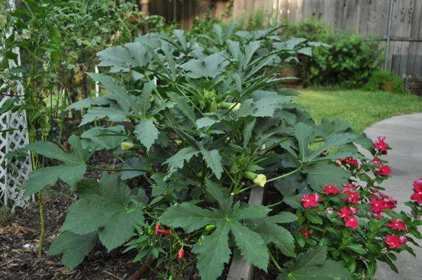 Green Fingers Okra in a Dallas Garden. Okra Pilau recipe
