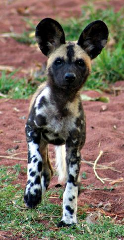 """African Painted Dog Pup by perthzoo.wa.gov.au: """"Suddenly they were there, lean, ghost like shapes in the moonlight with Mickey Mouse ears; wearing their dappled coats of black, tan and gold, like ink spots on blotting paper. Only a new day would reveal their full beauty. Only Man could hope to prevent their extinction."""" http://www.painteddog.org/the-dogs/ #Animals #Painted_Dog"""