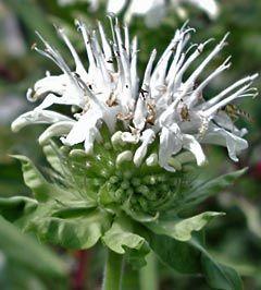 Monarda Fistulosa-Hybride 'Schneewolke' - Indianernessel