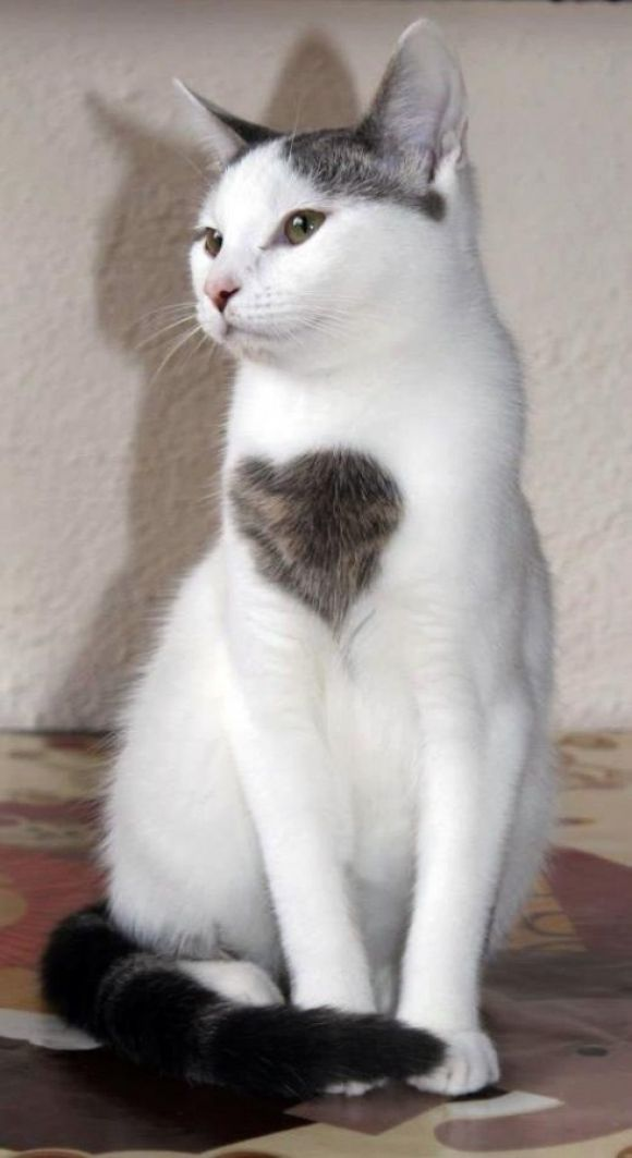 On of my white cats, Bebop, has a black heart just under his tail-when he walks away flicking his tail, he shows me his hidden heart.