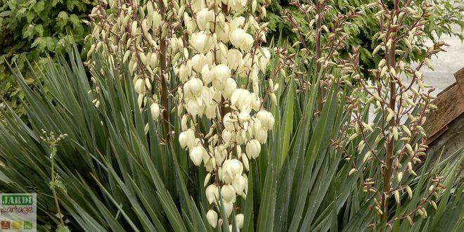 Les Yuccas sont des plantes rustiques, capables pour certaines comme les Yuccas gloriosa et filamentosa de vivre à l'extérieur toute l'année. #jardin