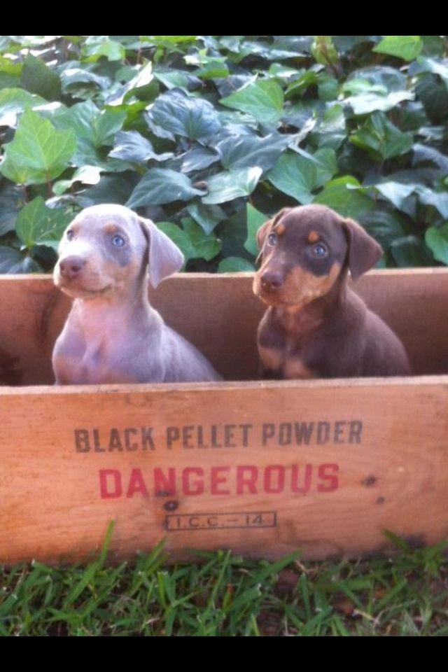 Doberman puppies: fawn hard to come by they r sooo beautiful!