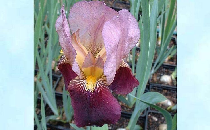 SAKSANKURJENMIEKKA  Iris germanica `Apricot Silk `
