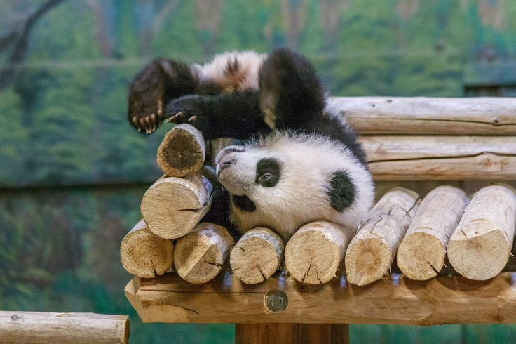 https://flic.kr/p/JPr6vT   Giant Panda Cubs   Toronto Zoo-6   Canada's first…