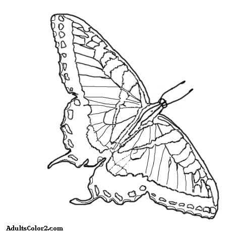 eastern tiger swallowtail coloring page The tiger has a