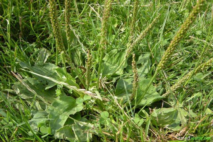 Mach die Augen auf! Spitzwegerich und Breitwegerich findest du fast überall. Die Blätter, Blüten, Samen und Wurzeln eignen sich als Nahrung und Heilmittel.