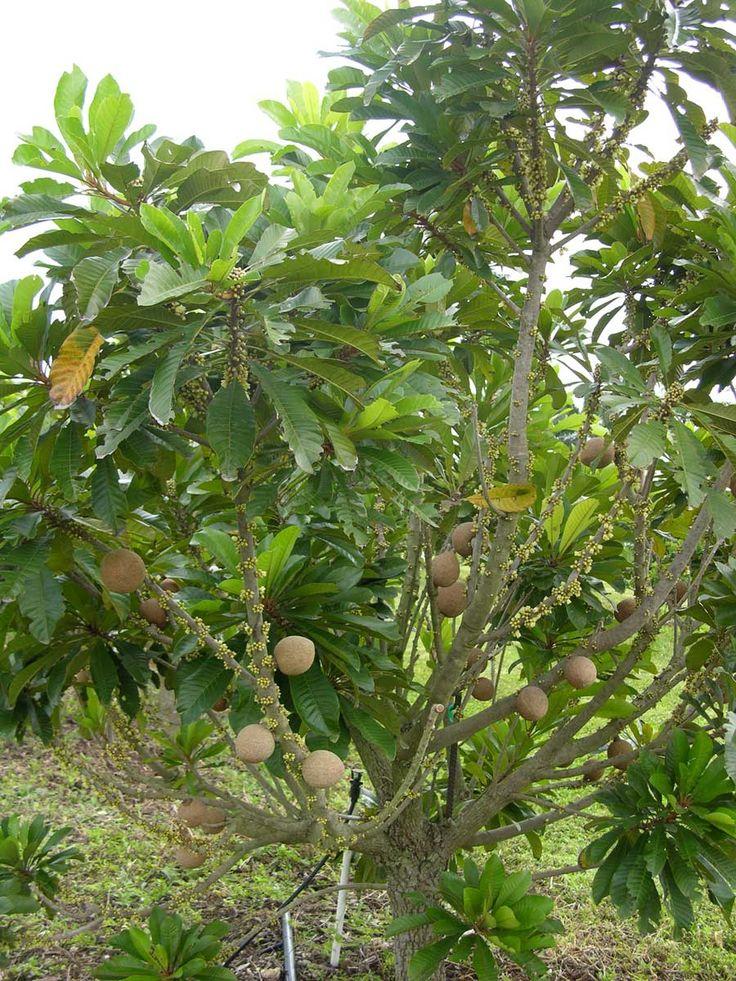 tropical fruit trees miami - Google zoeken | Tropical ...
