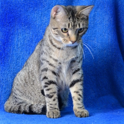 Peter is an adoptable Domestic Short Hair Cat in St. Louis, MO Peter is the son of Bunny, one of our many polydactyle girls. Peter is the male of the litter a ... ...Read more about me on @petfinder.com