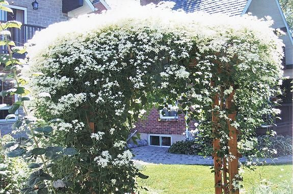 fall clematis summer snow garden landscape pinterest. Black Bedroom Furniture Sets. Home Design Ideas
