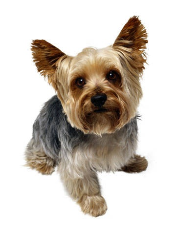 yorkiesPuppies, Yorkie, Small Dogs, Dogs Breeds, Friends Pets, Small Home, Animal Friends, Yorkshire Terriers, Animal Birds Etc