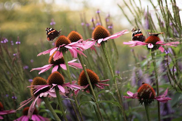 Prachtige nazomer border met bloeiende vaste planten en siergrassen. Hier de rode zonnehoed (Echinacea purpurea 'Rubinstern')
