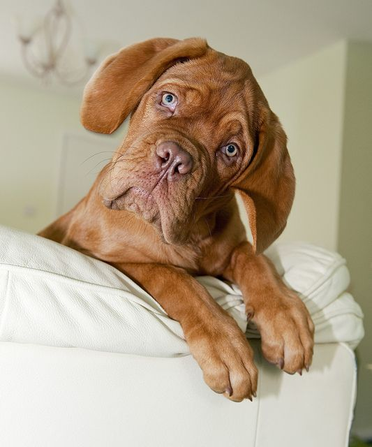 Dogue De Bordeaux -OMG. My next dog no joke!