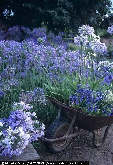 Agapanthus. Love love love this flower. Blue flowers are a bit rare, this one blooms profusely and comes back every year. From tiny to large sizes.