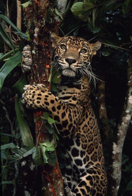 eqiunox:  A jaguar named Boo by Steve Winter