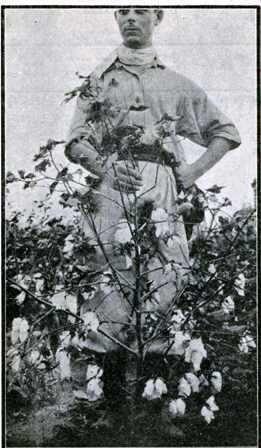"""Trabajos de aclimatación de la División Algodonera de la Estación Experimental de P.R. Sáenz Peña (Chaco), año 1925/26. Planta típica de la variedad """"Durango Long Staple"""". Fotografía tomada en 1926. Fuente: Ministerio de Agricultura. La experimentación algodonera en la República Argentina en el año 1925/1926. (Circular marzo de 1929)"""