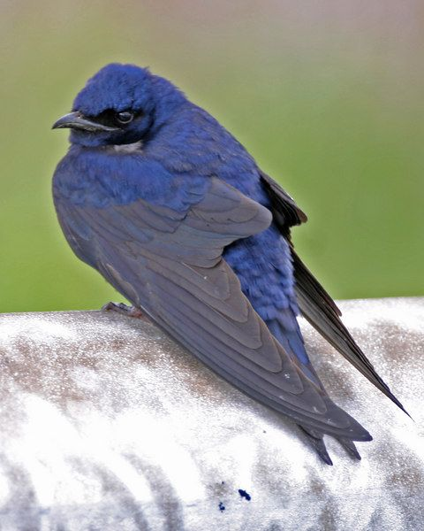 7 ways to attract Purple Martins #purplemartin #birding #birdwatching