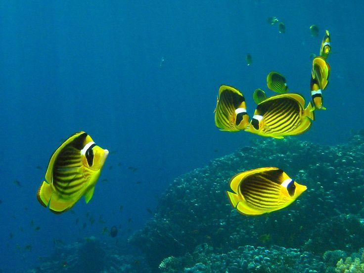 Yellow Fish in the Red SeaSea Raccoons, Raccoons Butterflies, Sea Fish, Underwater Marvel, Egypt Red, Raccoons Butterflyfish, Sea Underwater, Butterflies Fish, Yellow Fish